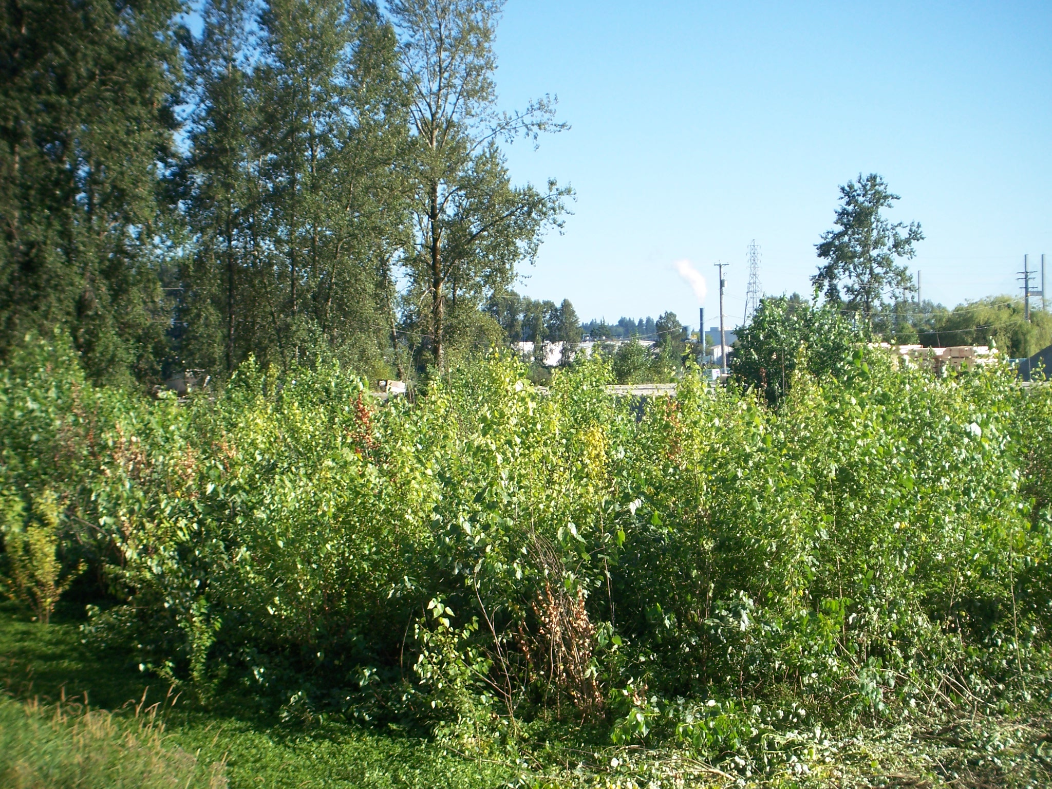 Before: Our beautiful little forest of cotton wood trees.
