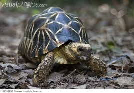One of my favorite patterns is on this African star tortoise.